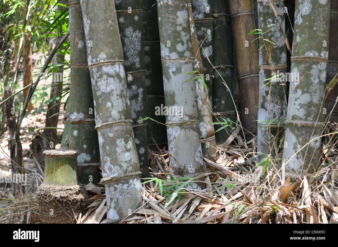 Bamboo stems - Stock Image