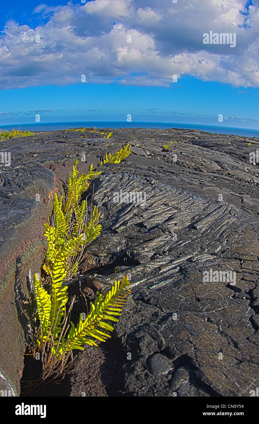 ferns growing in lava fields. Pacific ocean in the background, Volcano National Park, Big Island, Hawaii - Stock Image