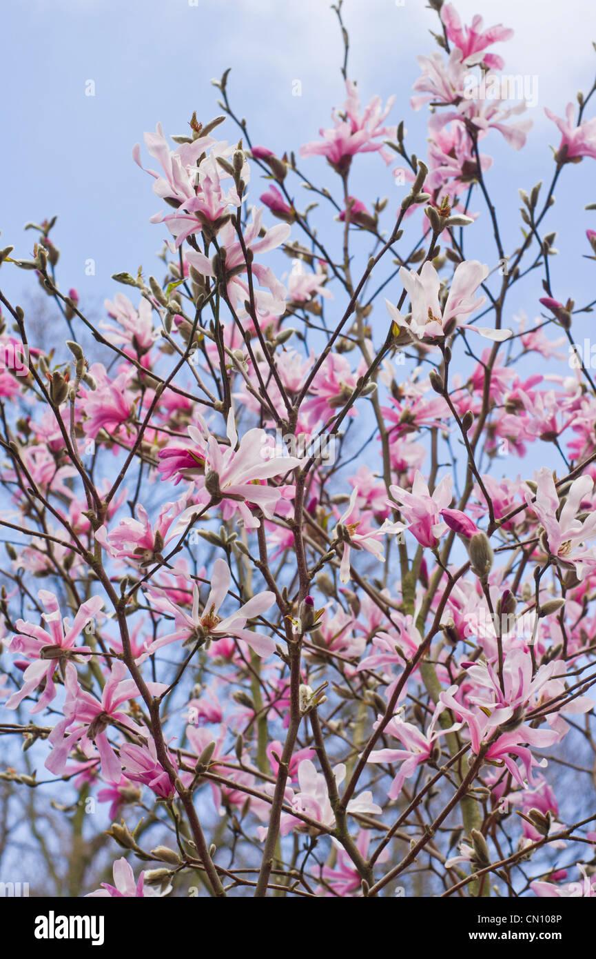Magnolia Officinalis Stock Photos Magnolia Officinalis Stock