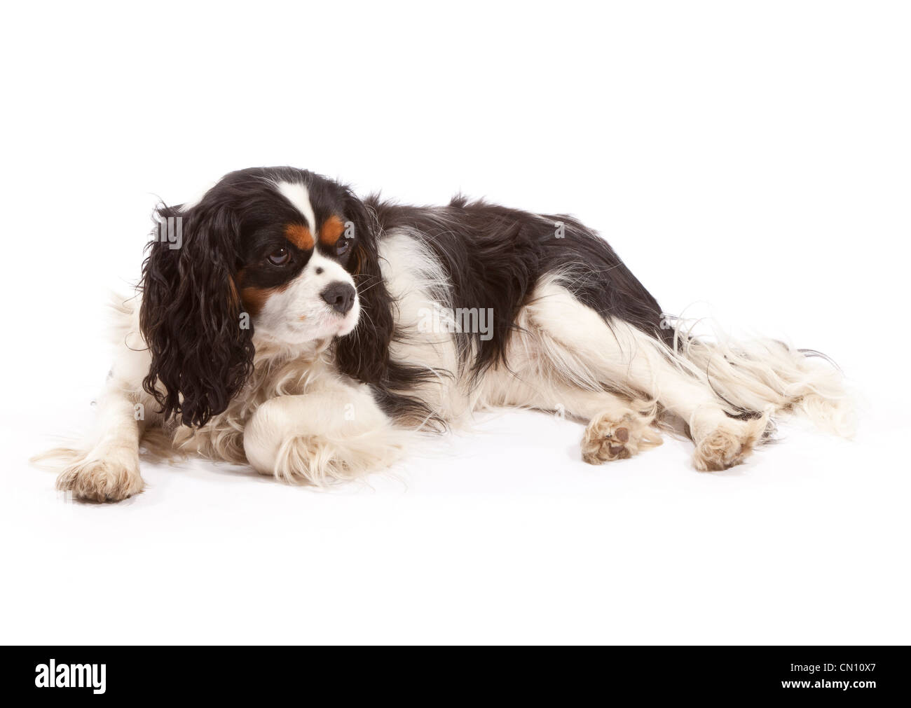 4 6 Year Male Cavalier King Charles Spaniel: Cavalier King Charles Spaniel Year Stock Photos & Cavalier