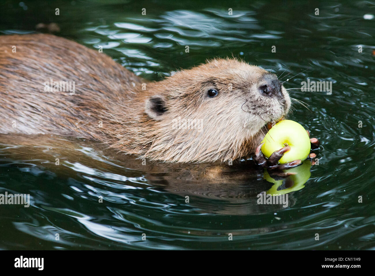 European or Eurasian Beaver - Castor fiber Stock Photo