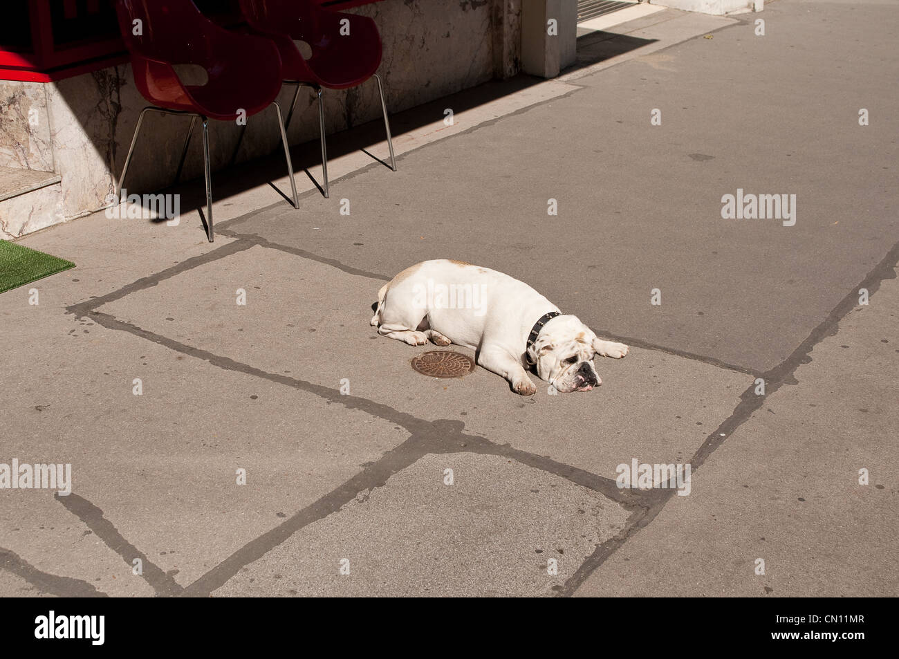 Bulldog lies in the street in the hot summer weather - Stock Image