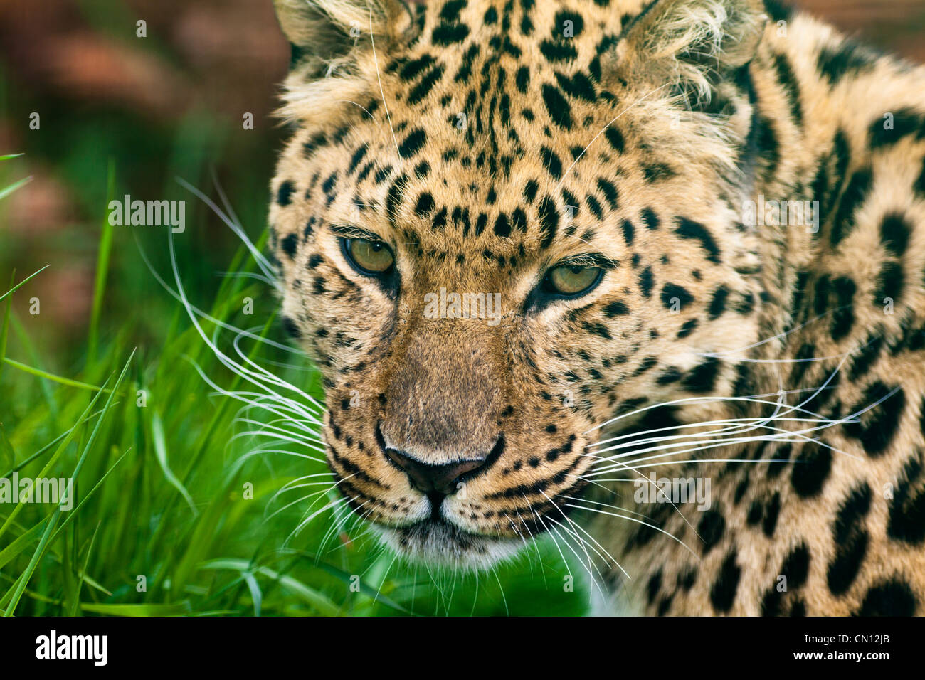 Amur leopard - Panthera pardus - Stock Image
