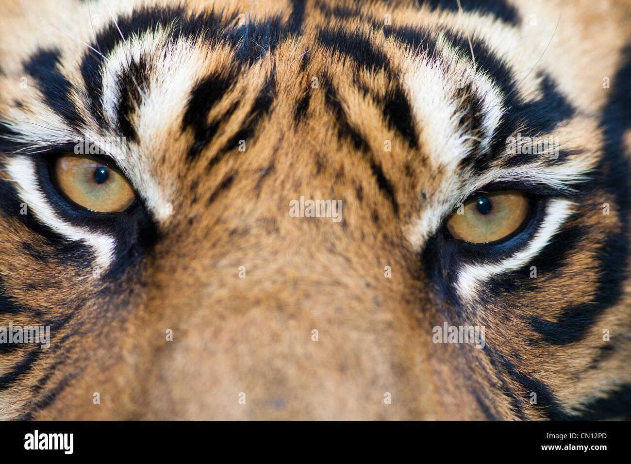 Tiger Bengal - Panthera tigris - close portrait Stock Photo
