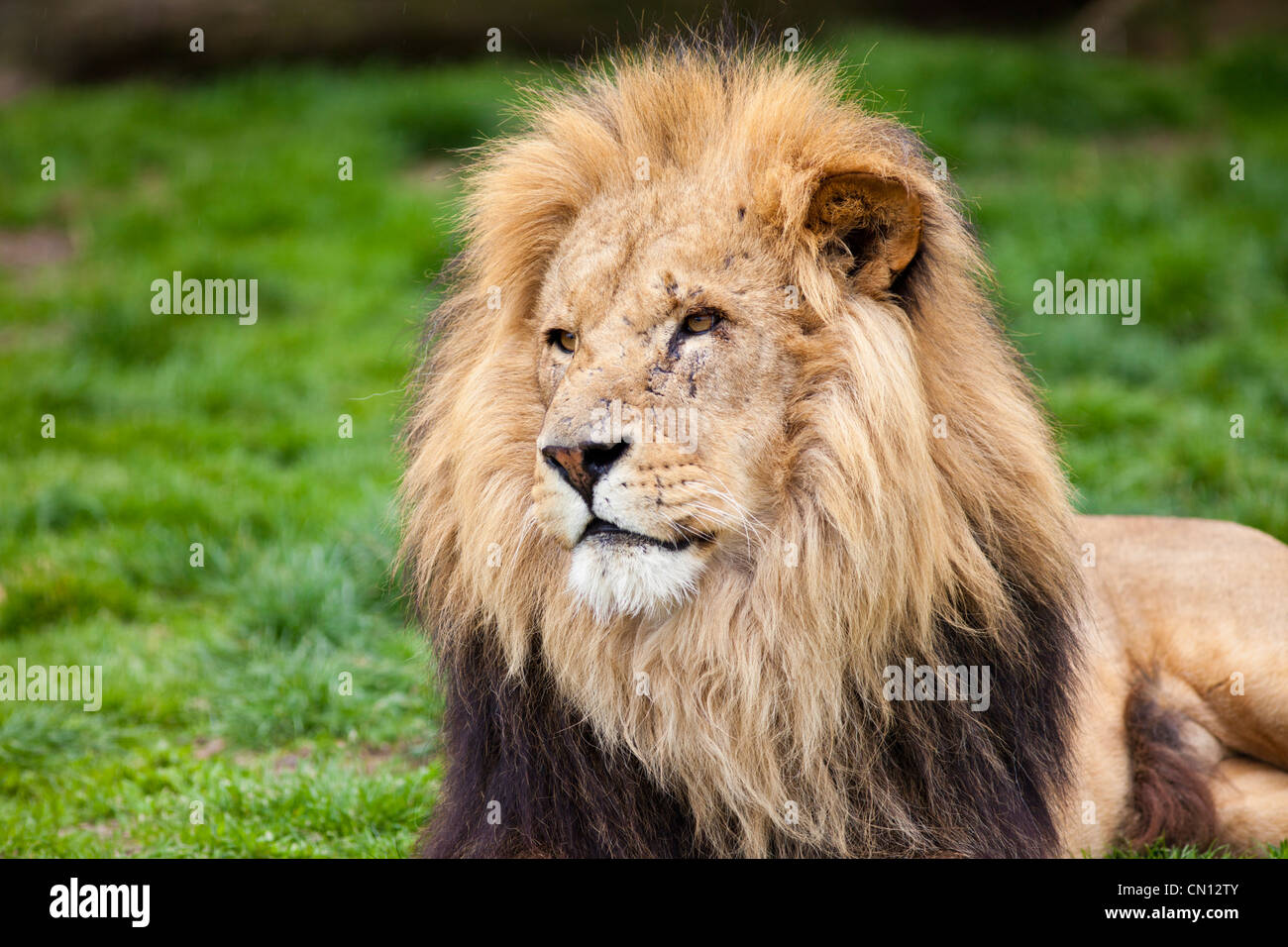 African Lion - Panthera leo - Stock Image