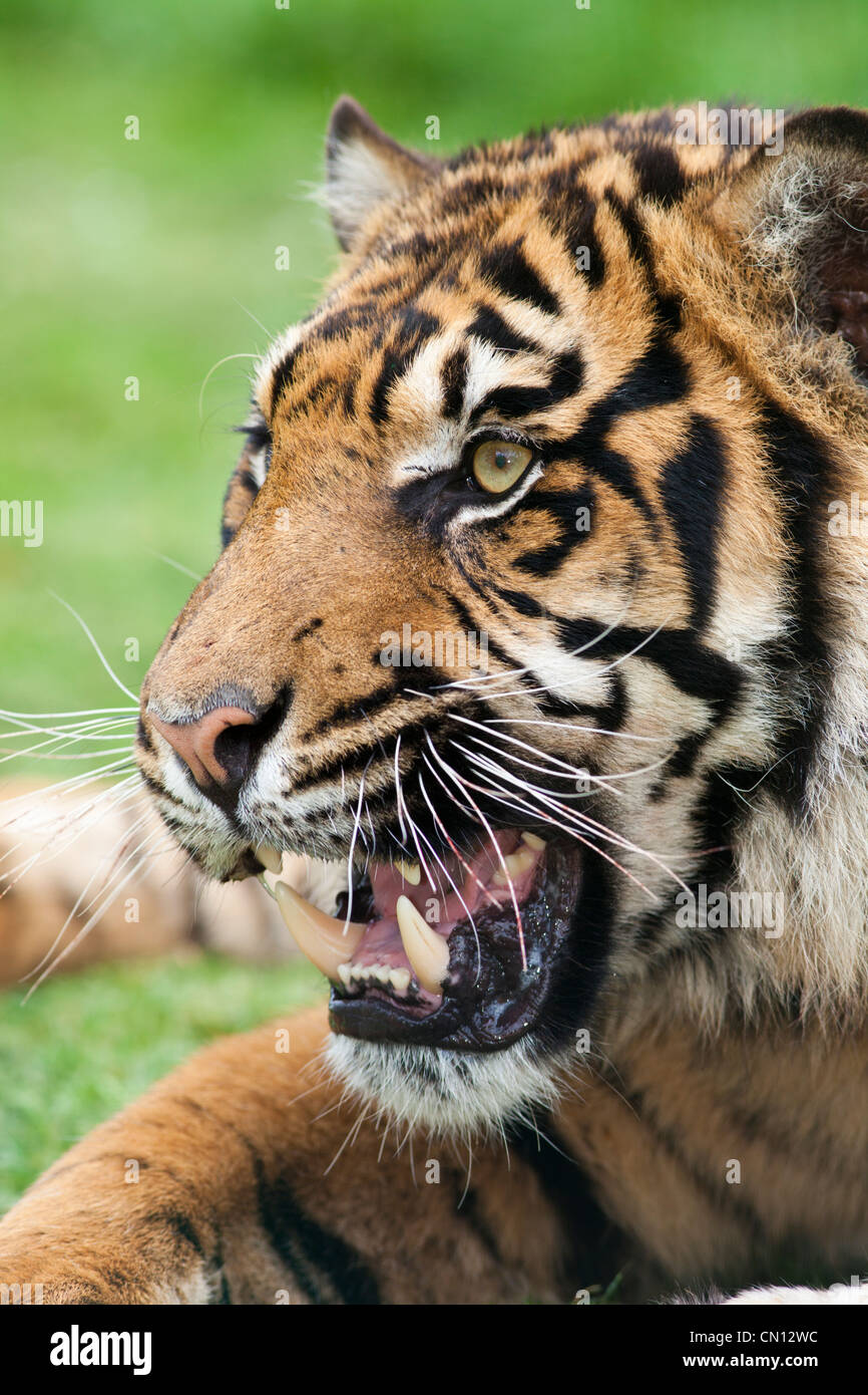Snarling Bengal tiger - Panthera tigris - Stock Image