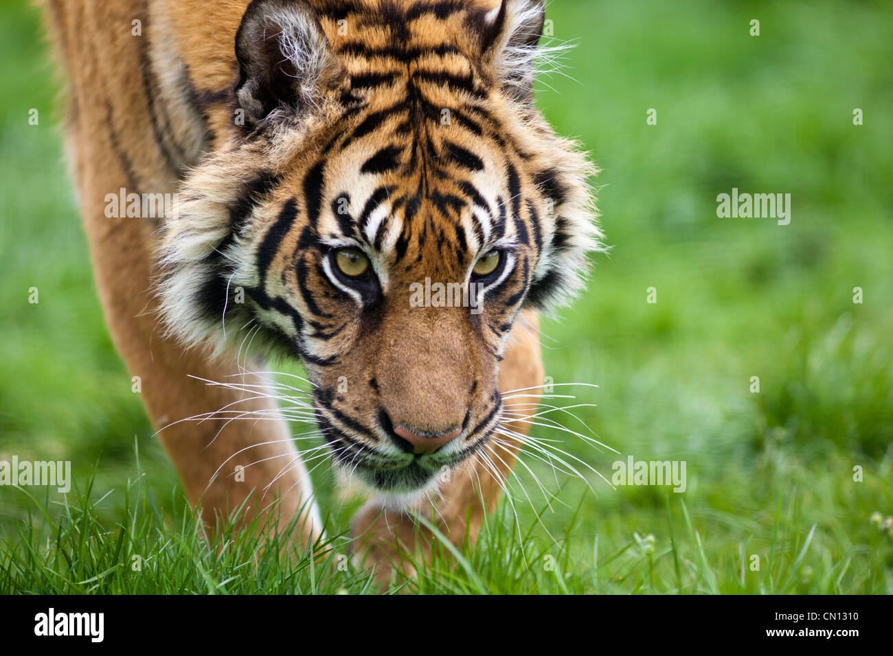 Bengal Tiger - Panthera tigris - stalking Stock Photo