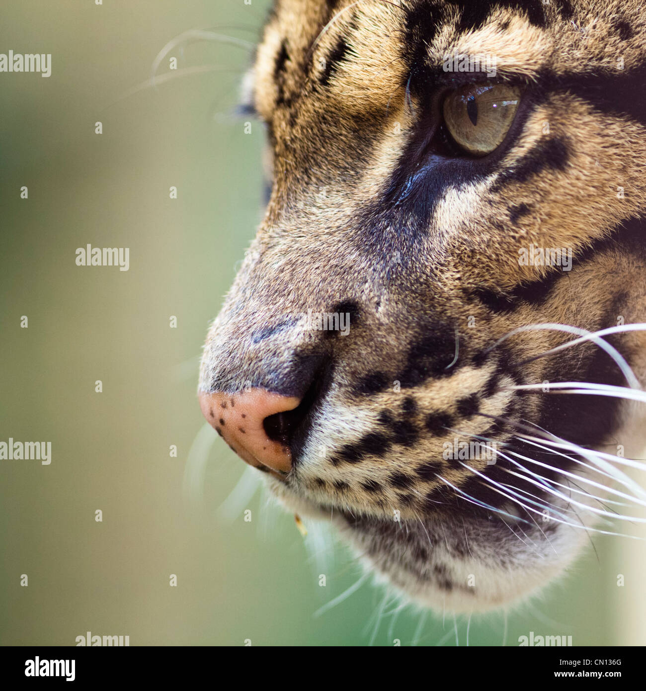 Clouded leopard - Neofelis nebulosa - portrait with eye close up - Stock Image