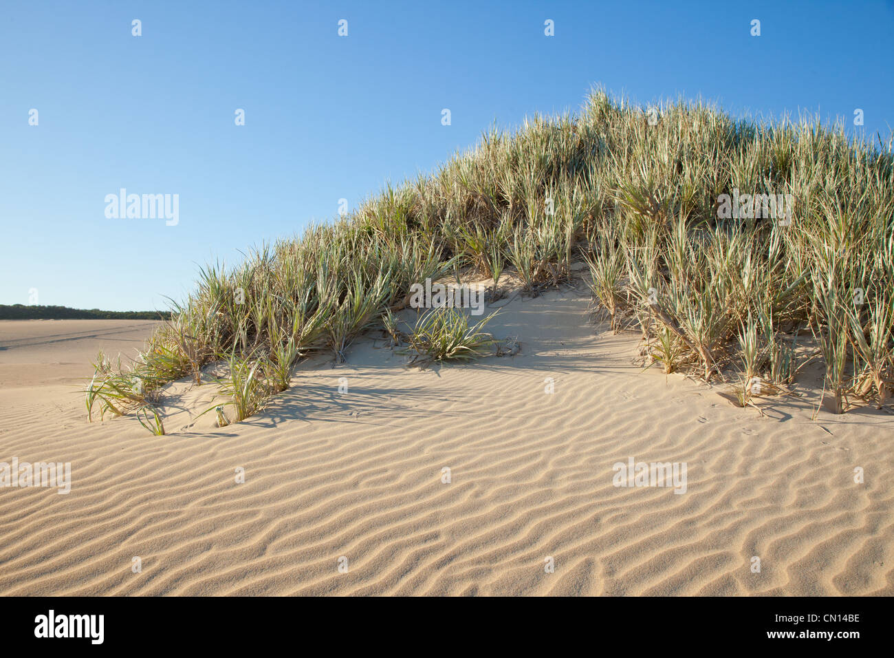 Dune grass in a sand hill. Eyre Peninsula South Australia - Stock Image