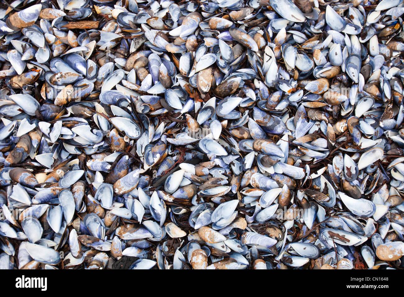 Mussel shells on Portnalong beach, Isle of skye, Scotland, UK. Stock Photo