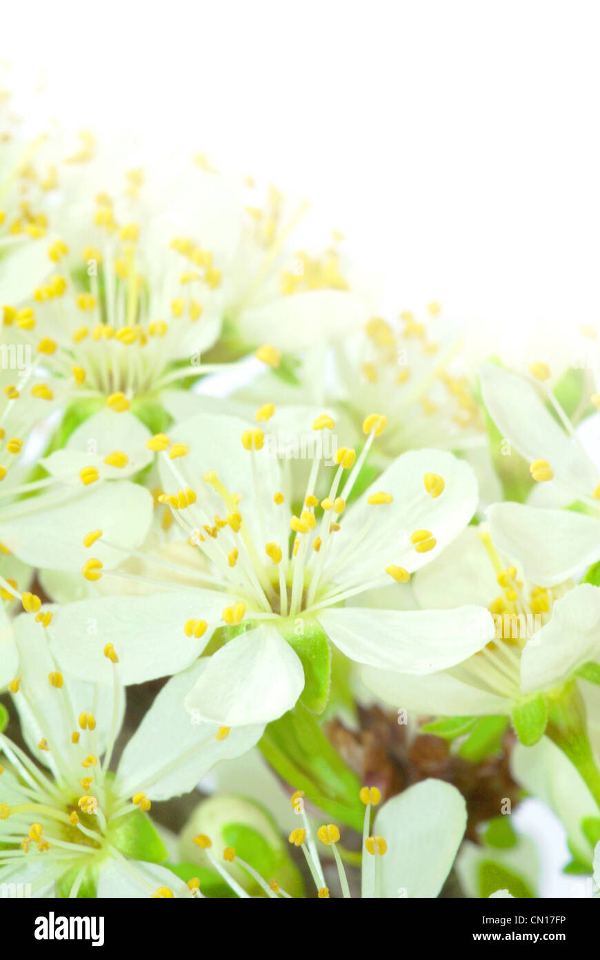 plum flowers merging with light background - Stock Image