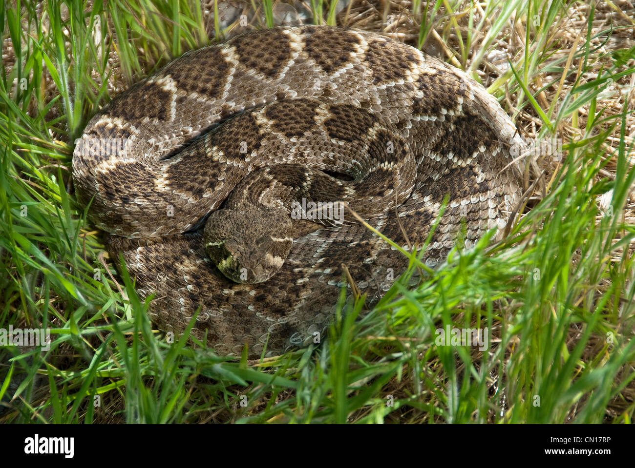 Western Diamondback Rattlesnake Crotalus atrox Potter County Texas USA Stock Photo
