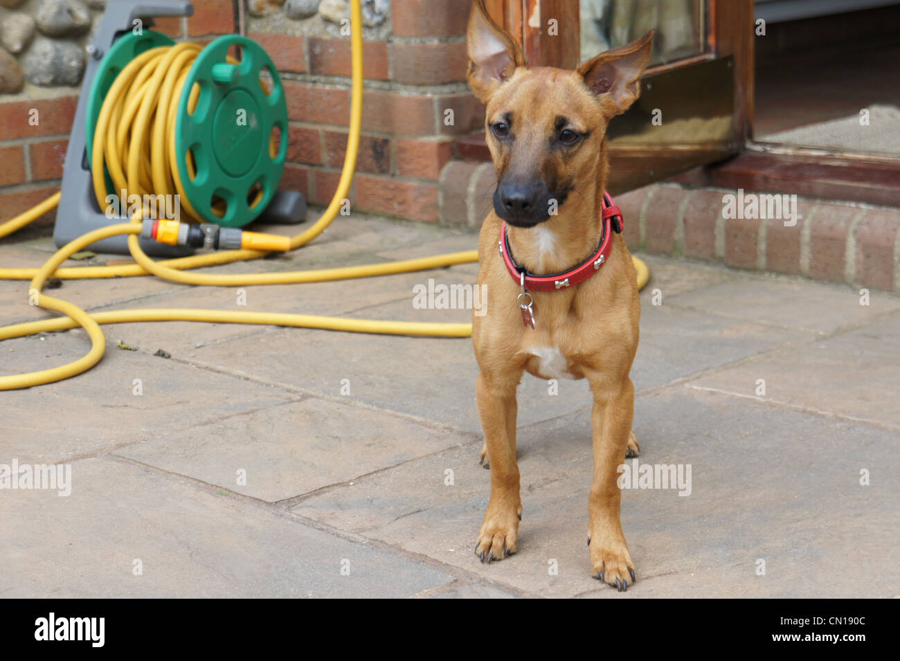 SONY DSC, terrier chihuahua mix puppy outside on patio - Stock Image