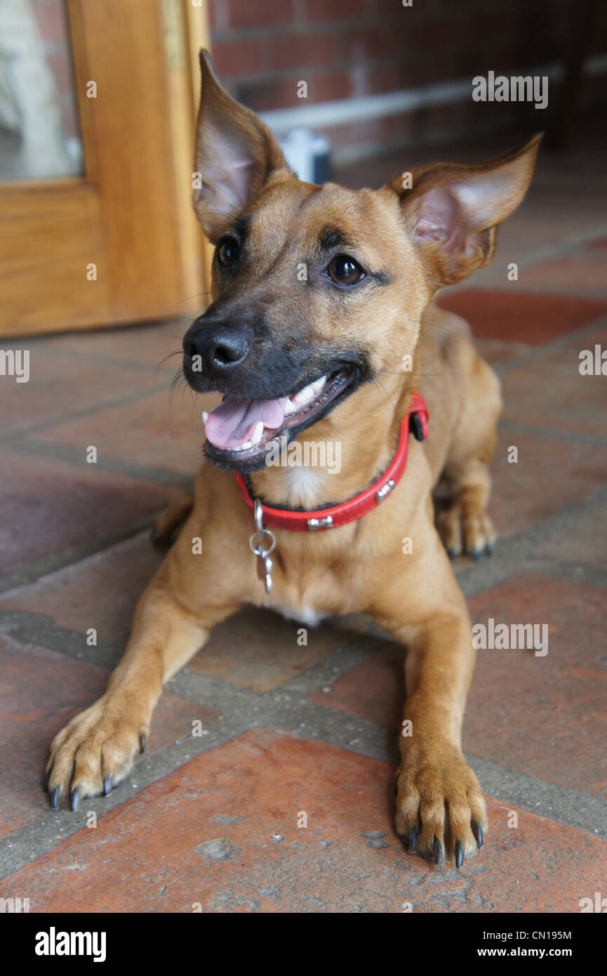 SONY DSC, chihuahua terrier mix puppy in conservatory - Stock Image