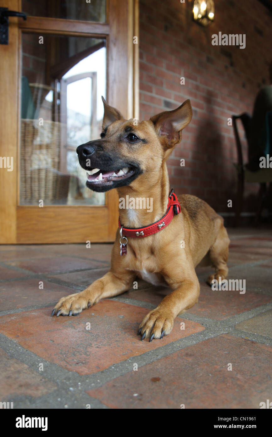 SONY DSC, chihuahua mix puppy sat in conservatory - Stock Image