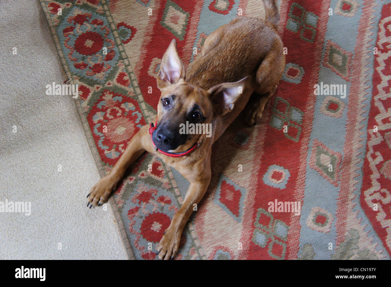 SONY DSC, chihuahua terrier mix dog lying down - Stock Image