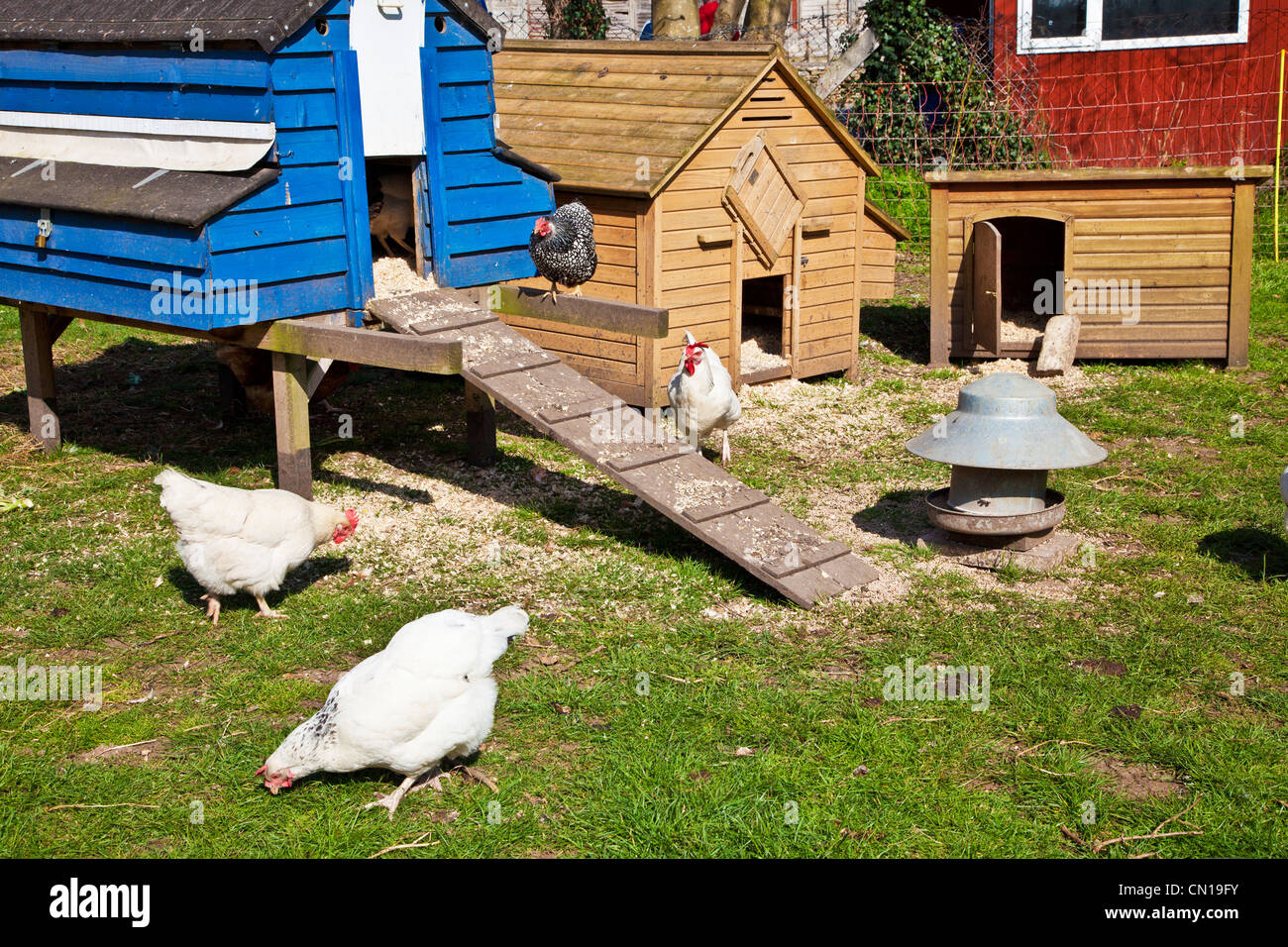 Free range chickens pecking around their hen coops on a smallholding in Wiltshire, England, UK - Stock Image