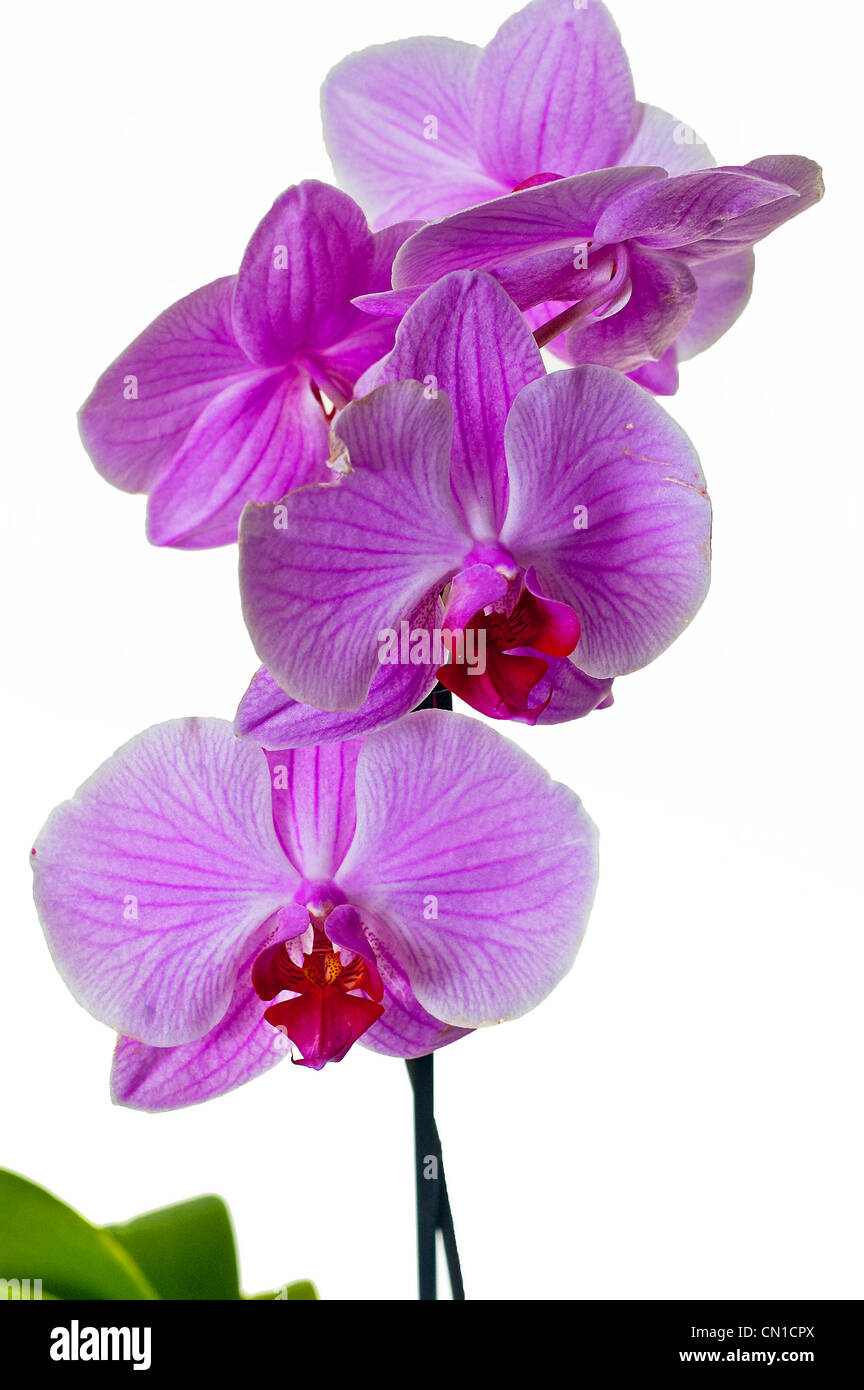 Little lila orchid on a white background - Stock Image