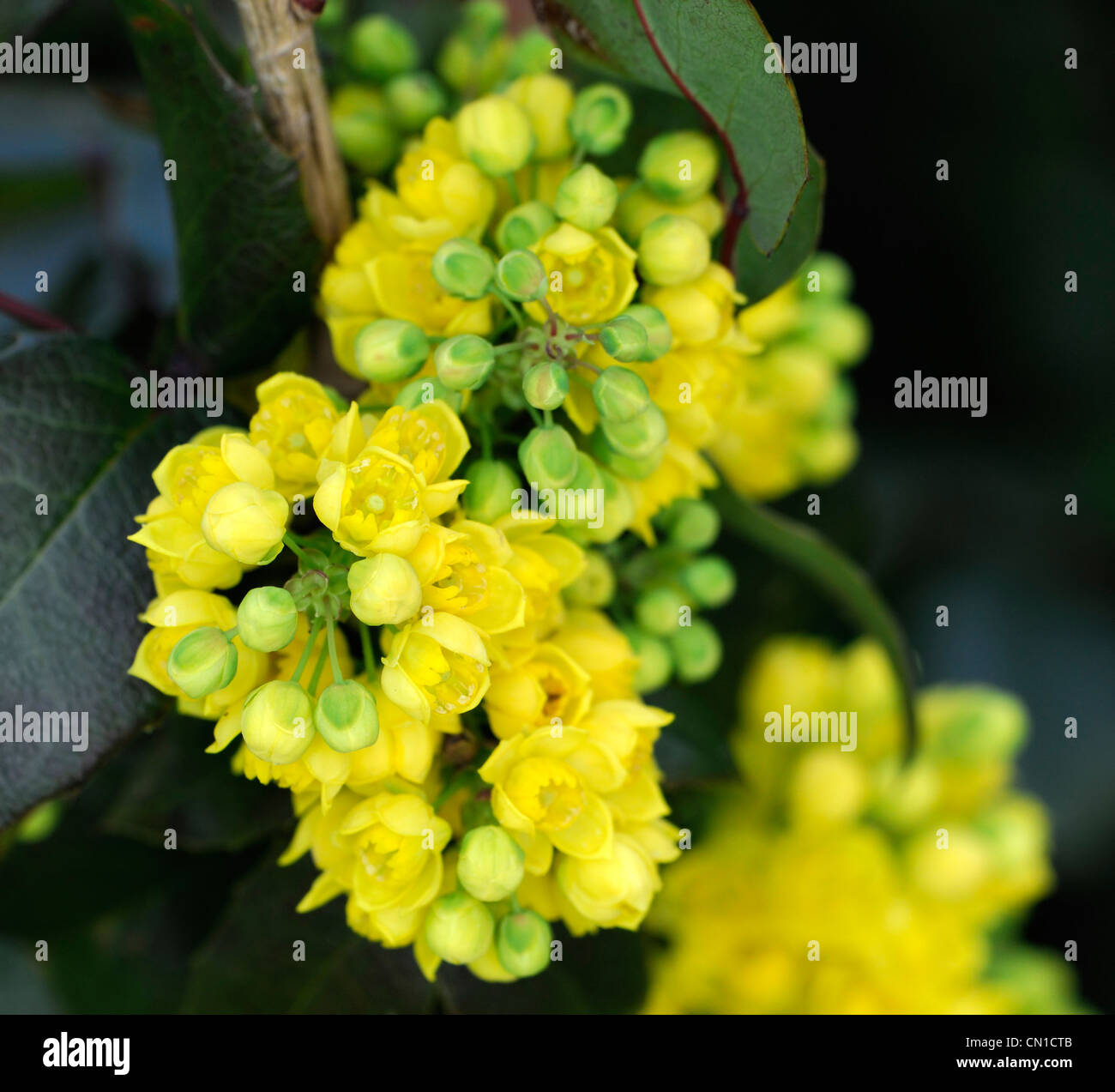 Mahonia X Herveyi Spring Yellow Flowers Closeup Scented Fragrant