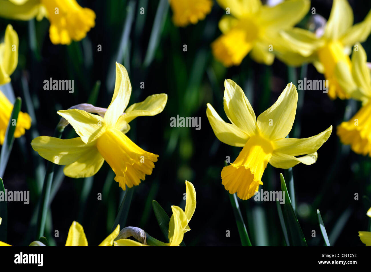 narcissus february gold dwarf cyclamineus Div 6 early hybrid golden-yellow petals - Stock Image