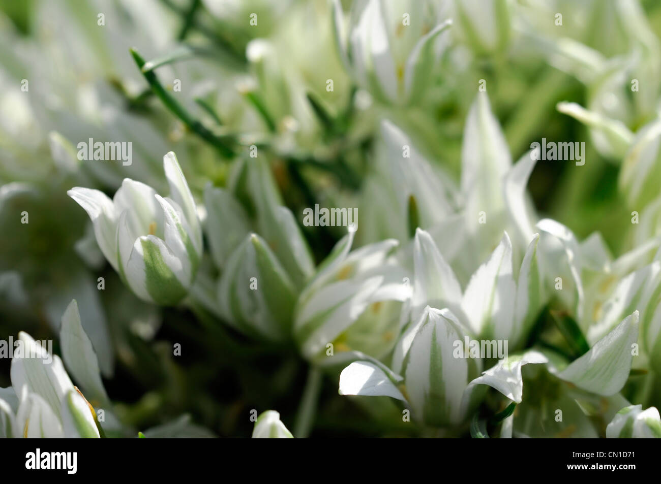 White star shaped flowers stock photos white star shaped flowers ornithogalum sigmoideum syn o nanum star of bethlehem colours colors white star shaped petals flowers flowering mightylinksfo
