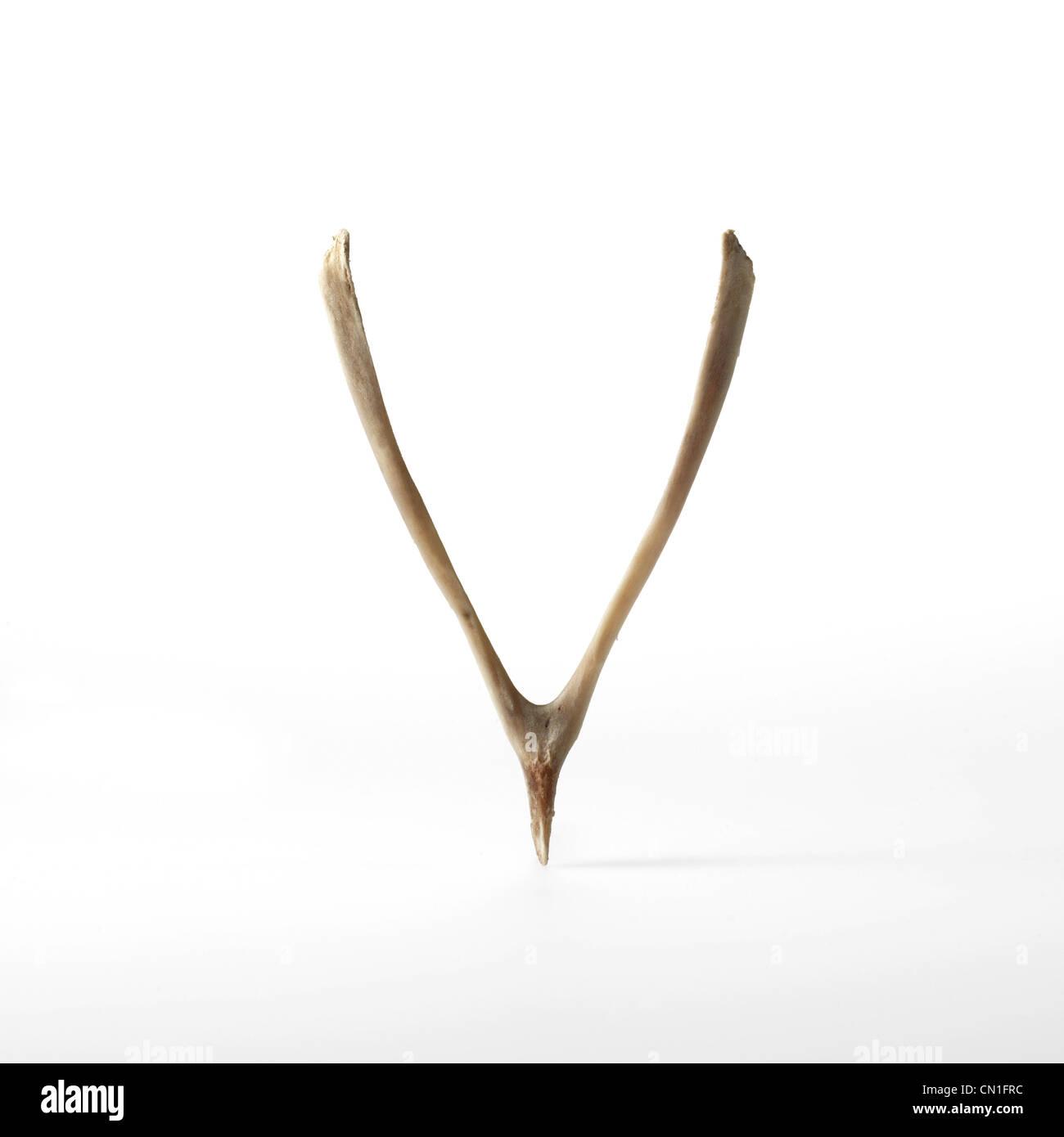 Turkey Wishbone on White - Stock Image