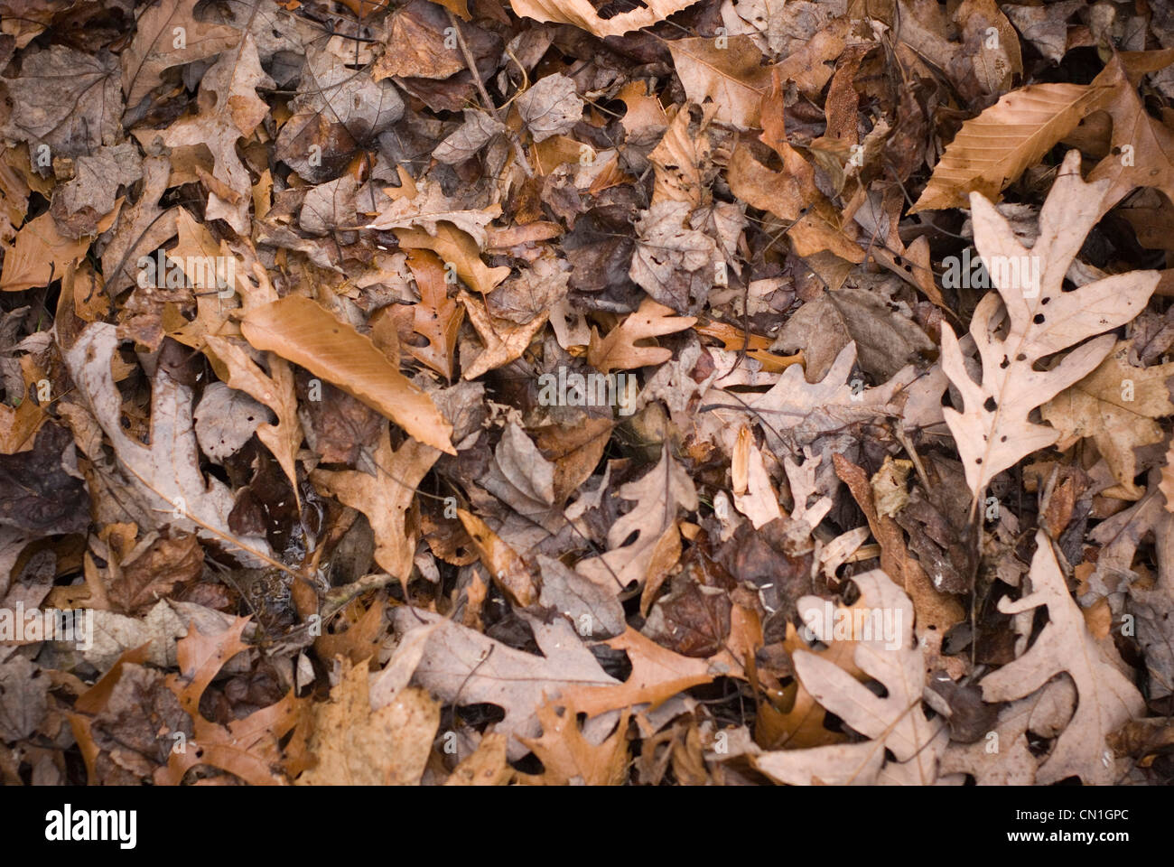Fallen Autumn Leaves III - Stock Image