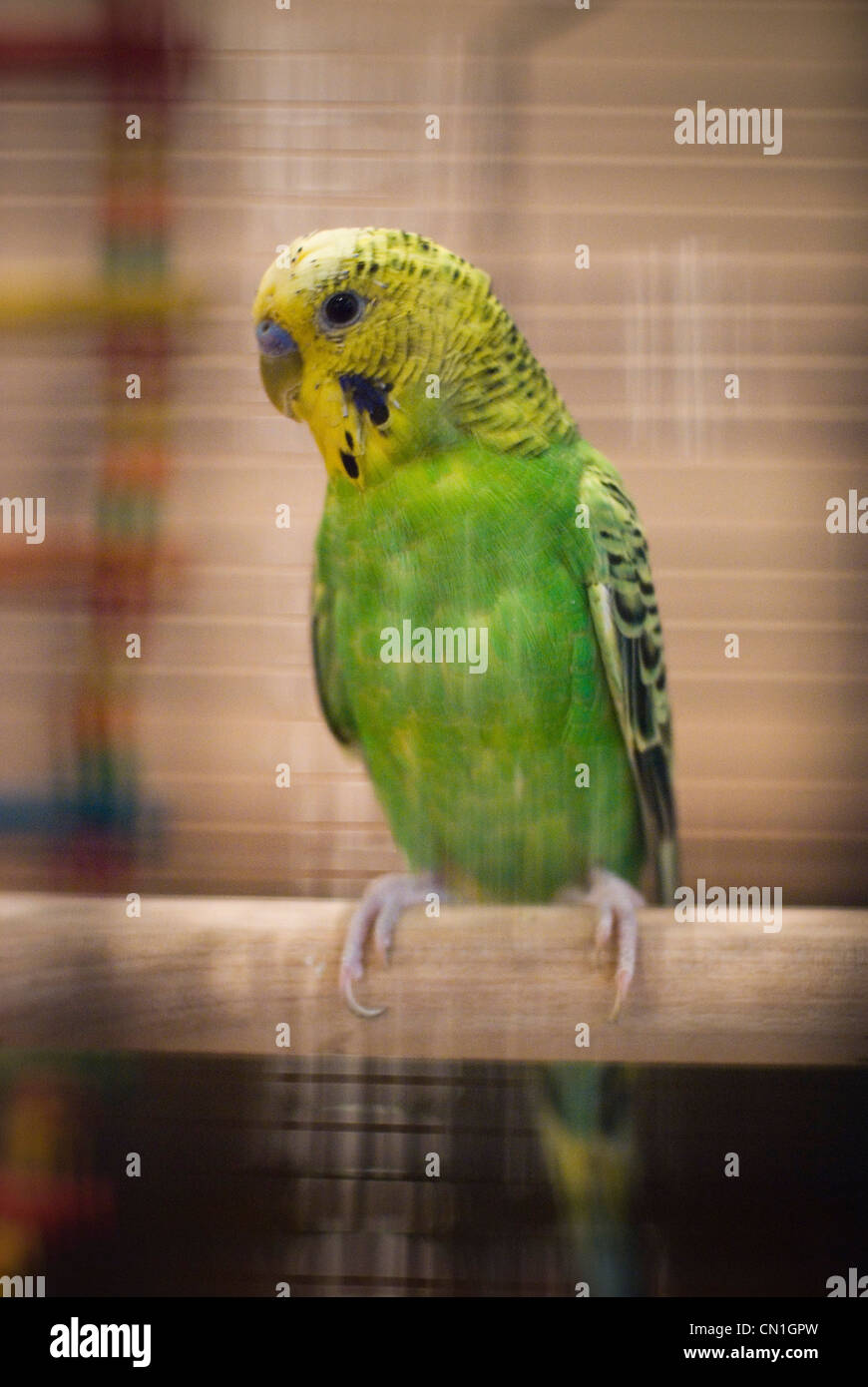 Close-up on Pet Parakeet in Cage - Stock Image