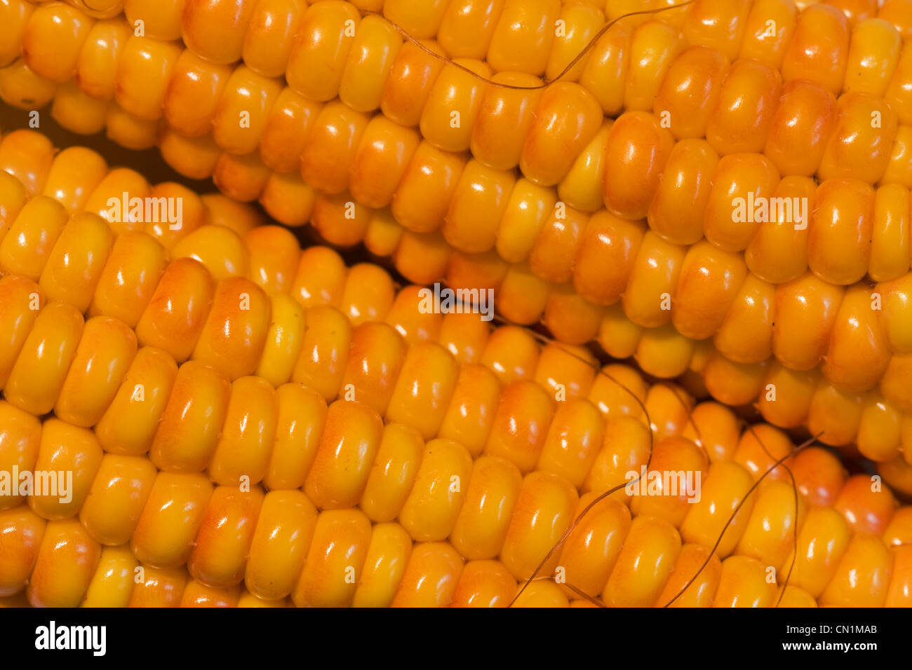 Two maize ears - Stock Image