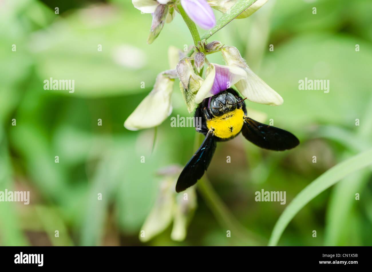Carpenter bee macro in the nature or in the garden.It's danger - Stock Image