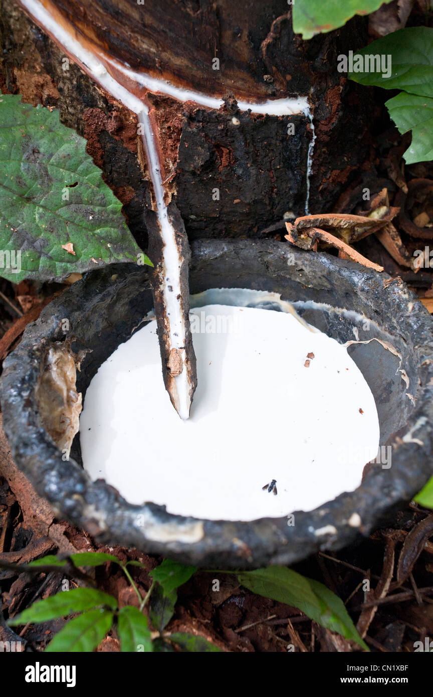 Cambodia, Ratanakiri Province, near Banlung, latex being collected from a tapped rubber tree - Stock Image