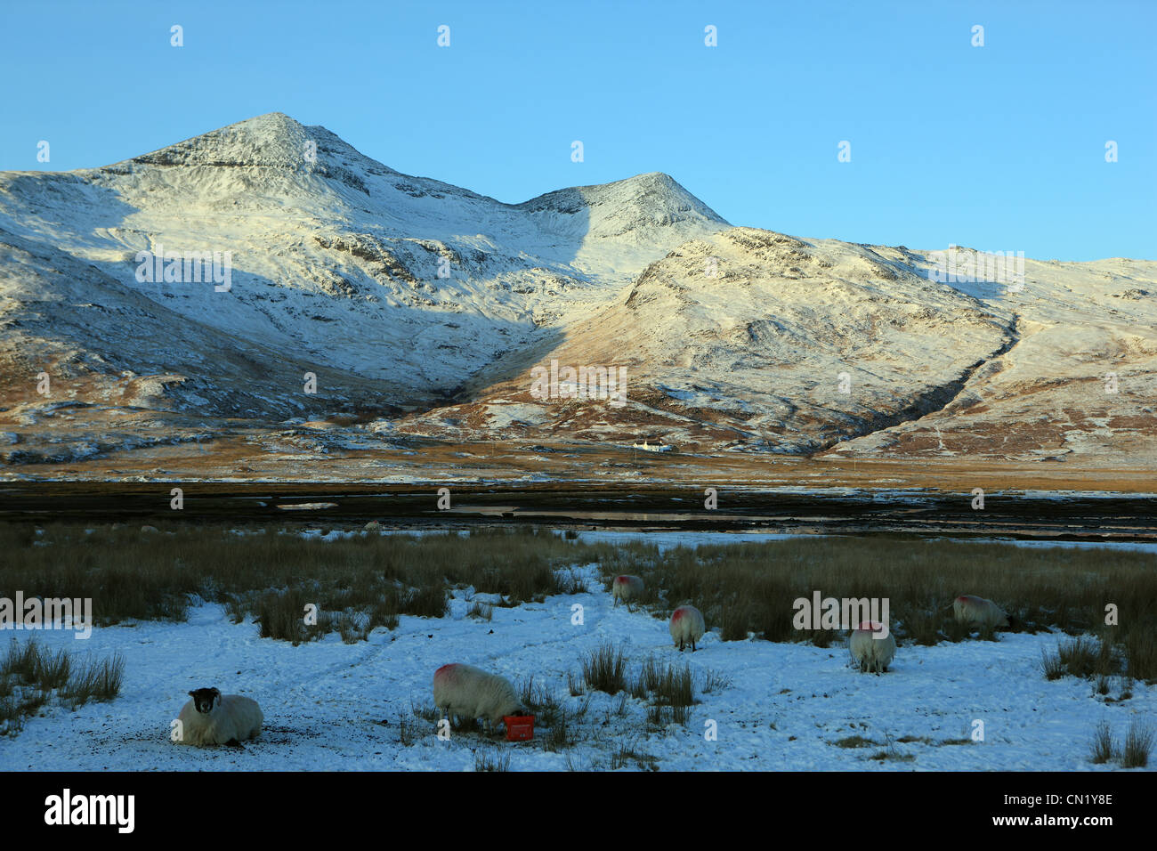 Snow covered Ben More on Mull with sheep foraging for food in the foreground - Stock Image