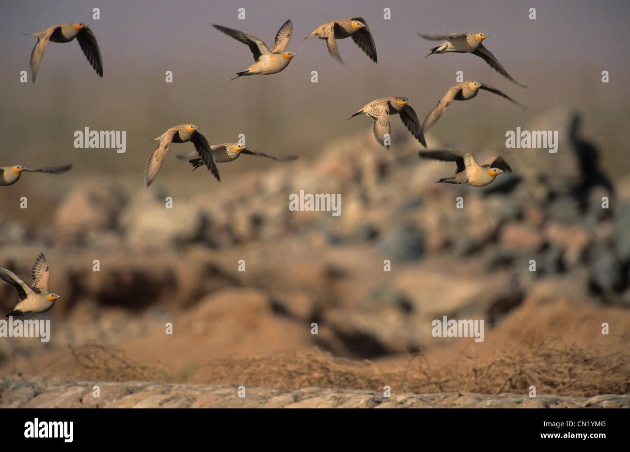 Spotted Sandgrouse (Pterocles senegallus) flock in flight Sinai Egypt Stock Photo