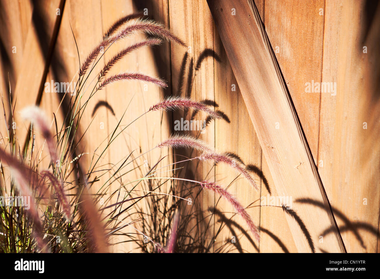 Tall grass casts a shadow across a fence - Stock Image