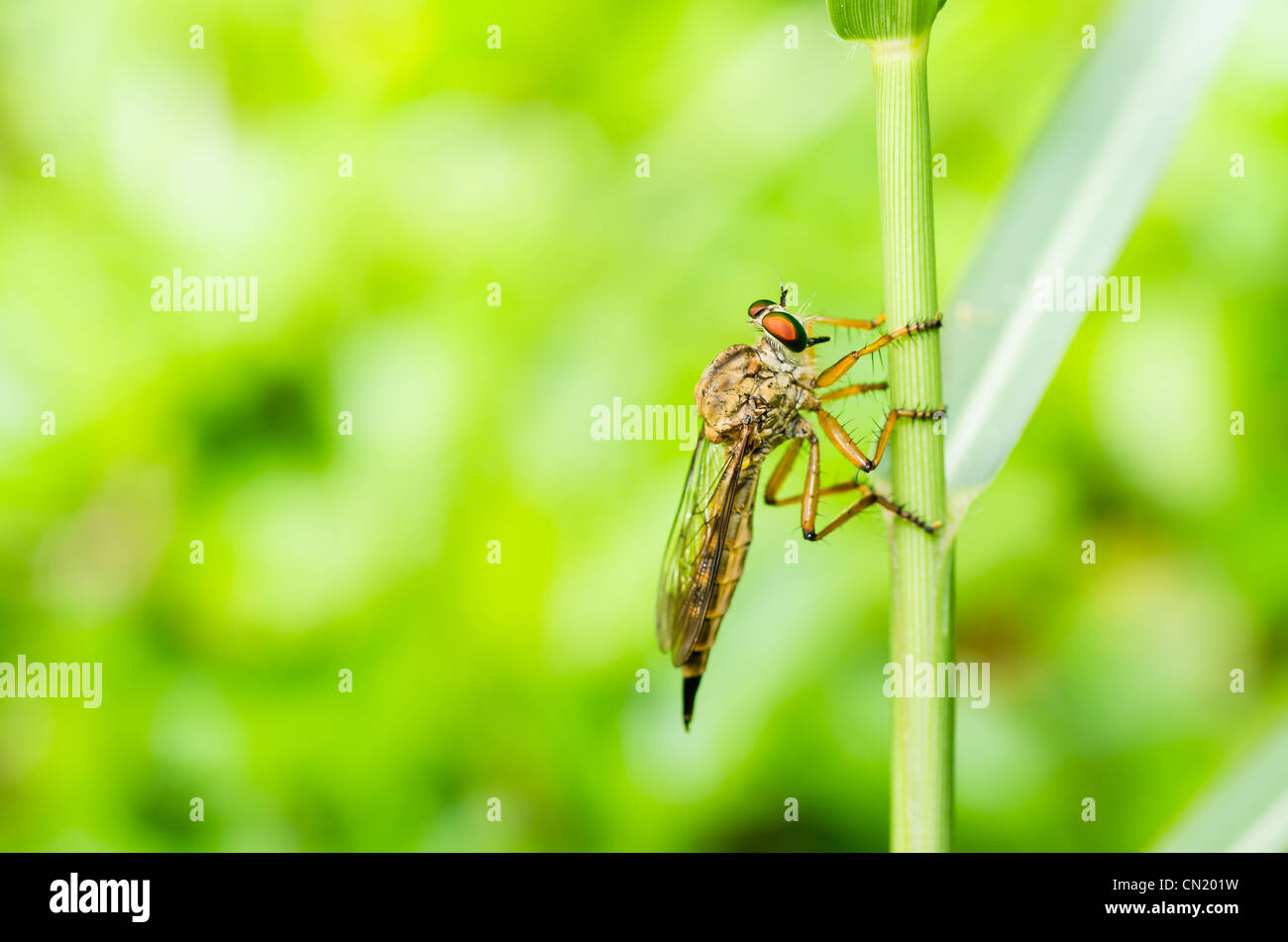Robberfly macro in green nature or in the garden Stock Photo