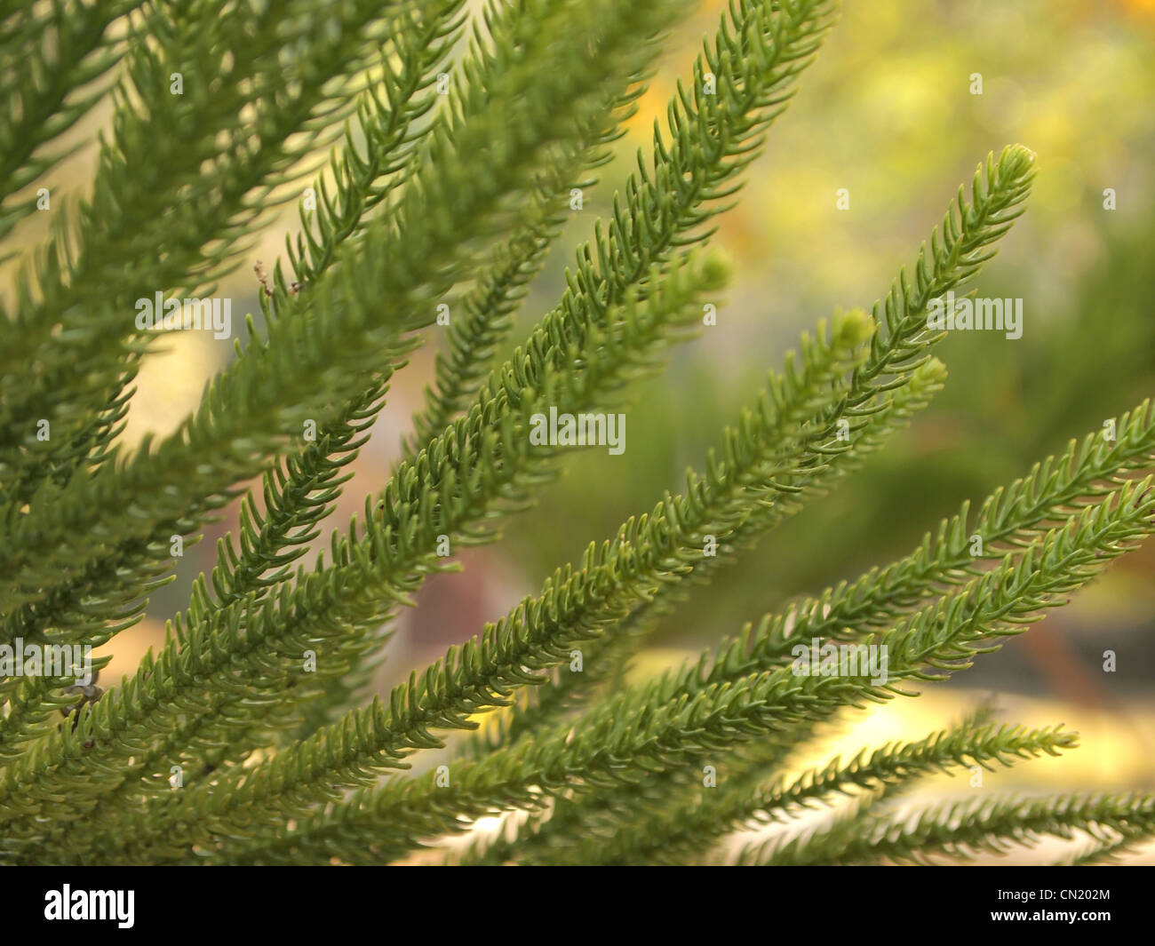 The leaves of pine - Stock Image