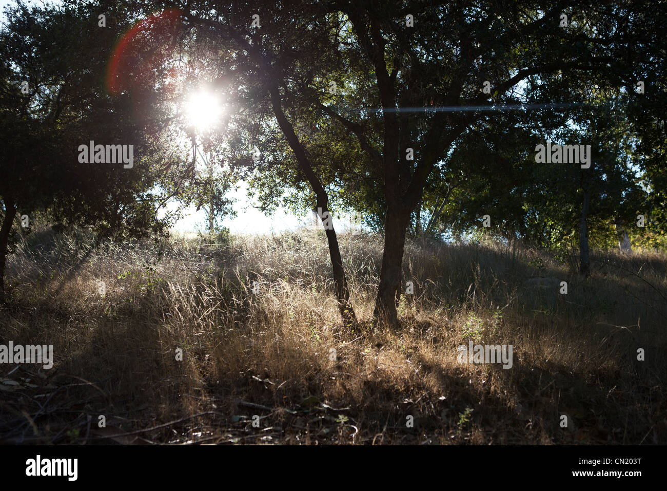 Sun shining through the trees of an open, grassy field - Stock Image