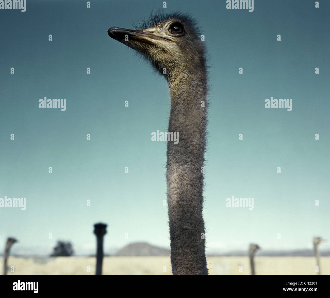 Ostrich in the desert, South Africa - Stock Image