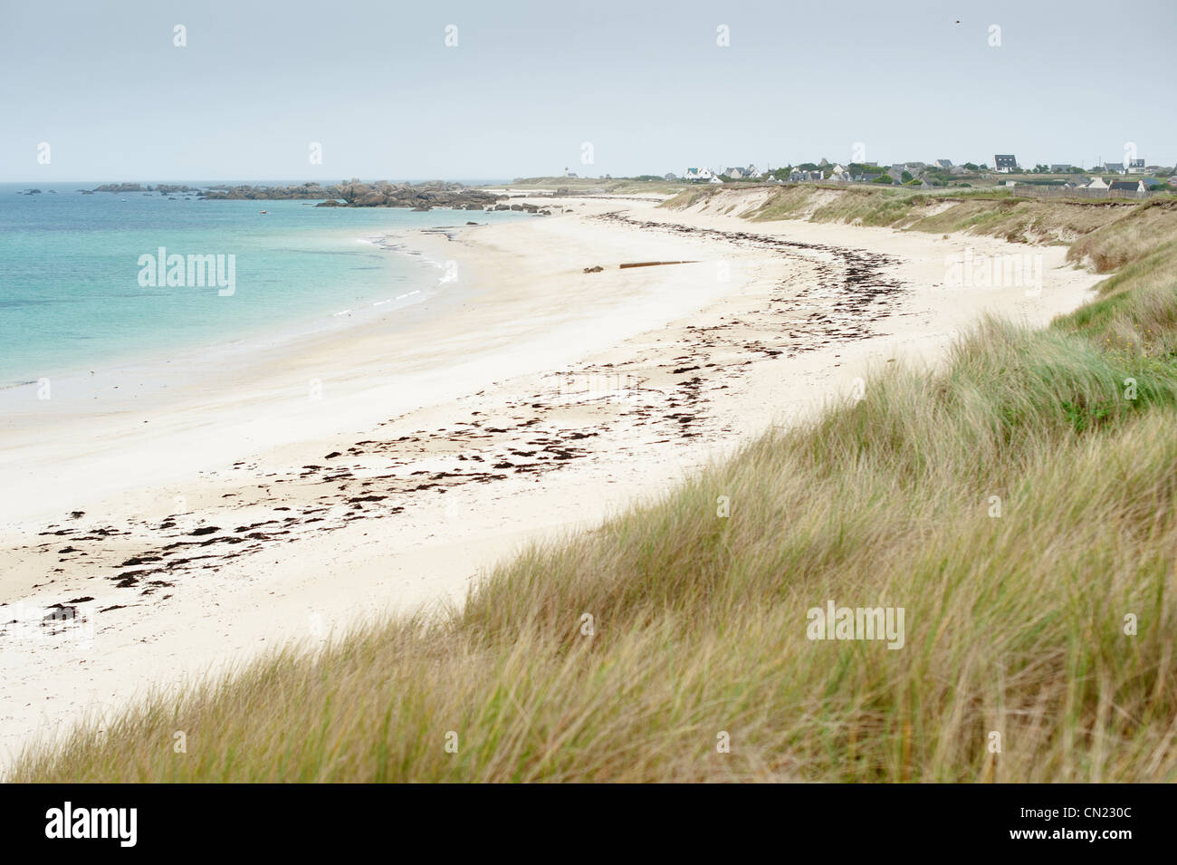 France, Finistere, Brignogan Plages, marram (Ammophila arenaria) on the big beach, the Cote des Legendes in the - Stock Image