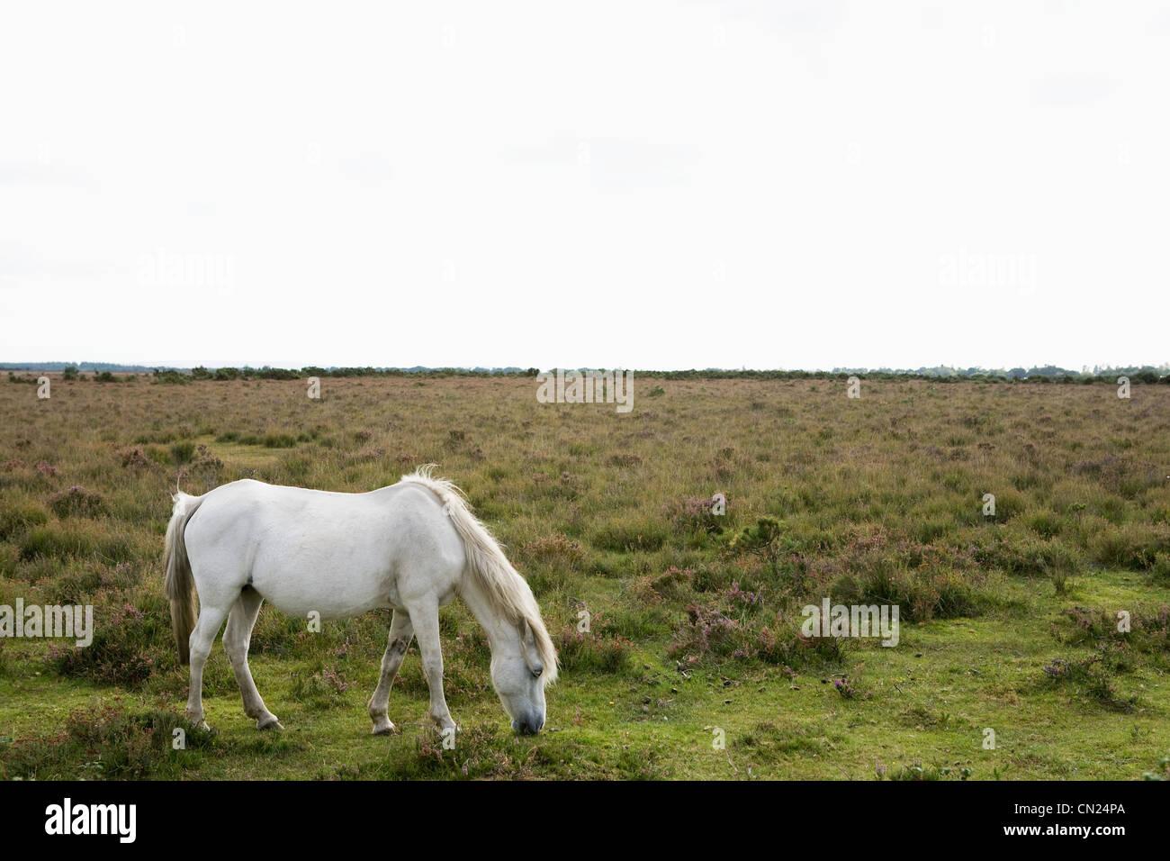 Wild horse grazing - Stock Image