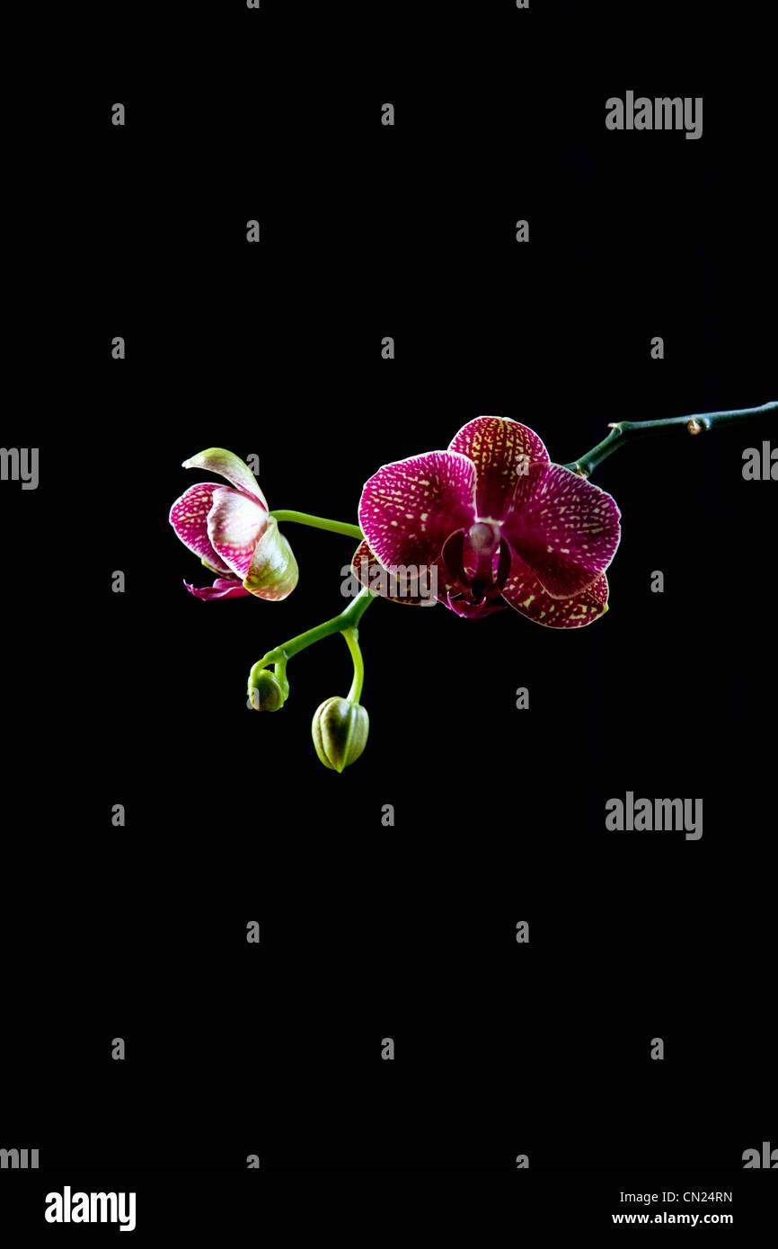 Orchid, still life - Stock Image