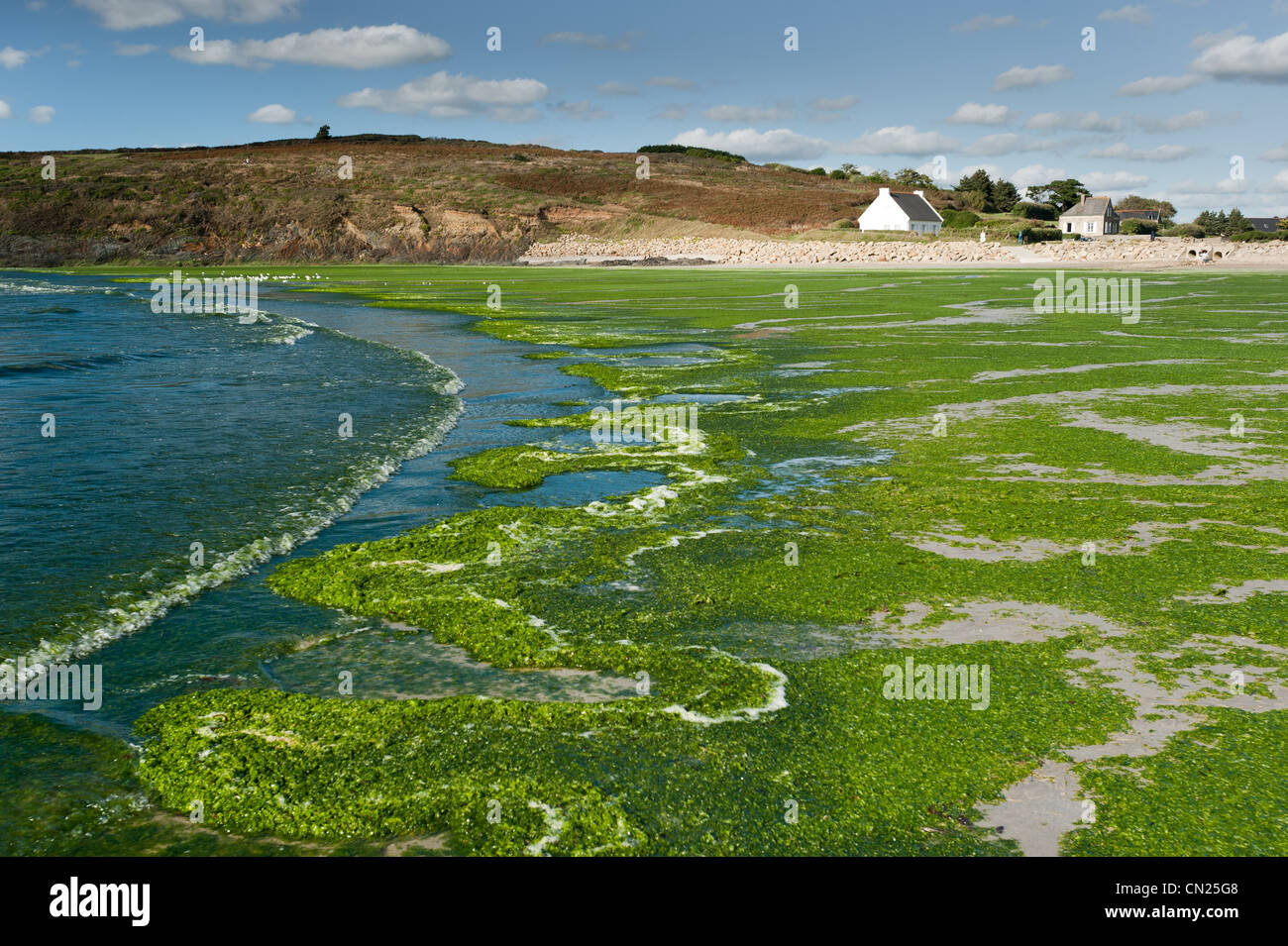 France, Finistere, Baie de Douarnenez, Ploeven, Ty an Quer beach cover by green algae - Stock Image