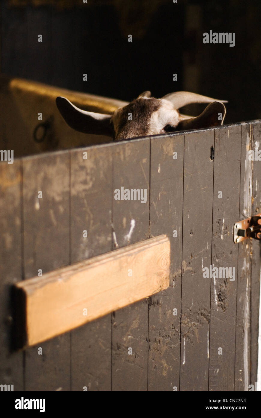 Goat in barn - Stock Image