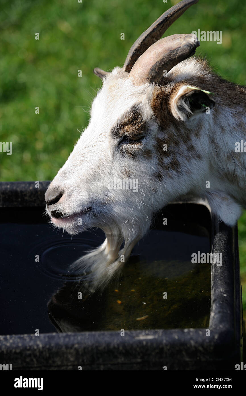 billy goat drinking water england uk stock photo 47378652 alamy