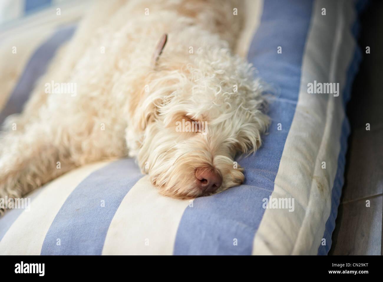 Dog on cushion - Stock Image