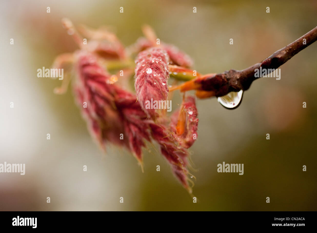 Frost on young leaves - Stock Image