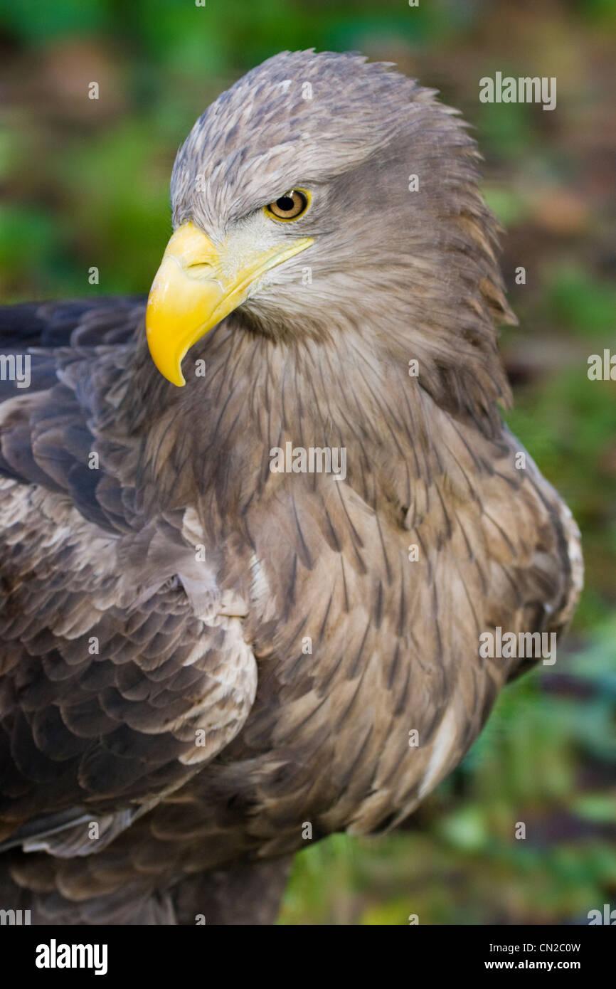 White Tailed Sea Eagle - Haliaeetus albicilla - portrait Stock Photo