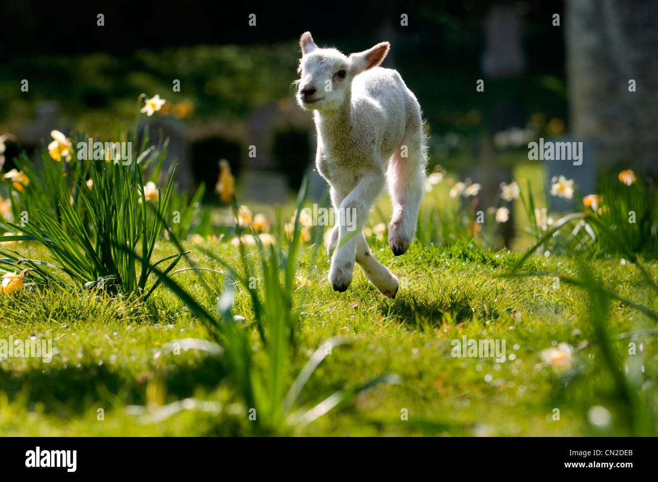 A lamb frolicking in the spring sunshine Stock Photo ...