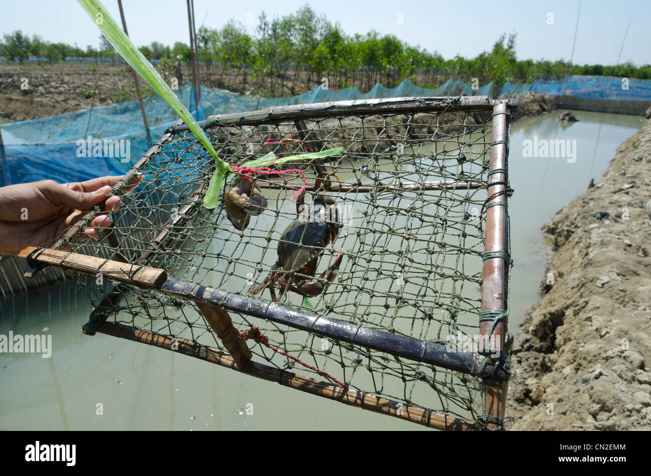 Crab fattening pool and Mangrove replanting project. NGO donors trip ADRA-LIFT-ECODEV. Irrawaddy delta. Myanmar. - Stock Image