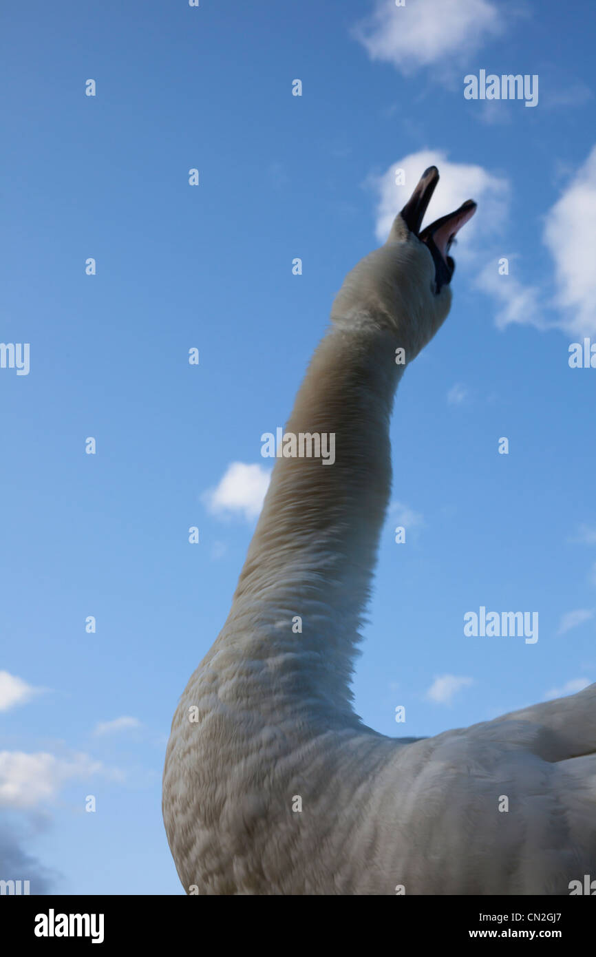 Mute Swan (Cygnus olor) shaking its neck dry after being underwater Stock Photo